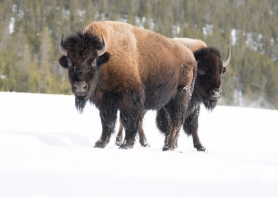 Bison were in the warmer areas of the park, especially around the hot springs