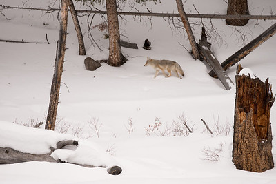 A Coyote across the river