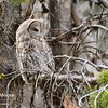 A great grey owl.  Yellowstone National Park, Wyoming, USA