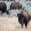 European Starlings perch on bison in the Lamar Valley in Yellowstone National Park