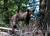 This cute black bear cub's in pretty good focus, considering that one eye was on viewfinder, and the other was trying to keep mama bear and my kids in focus.
