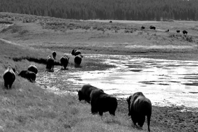 Buffalo March, Yellowstone National Park  Print size 5 x 7 $14.00 USD 8 x 10 $20.00 USD 8 x 12 $20.00 USD 11 x 14 $28.00 USD 12 x 18 $35.00 USD 16 x 20 $50.00 USD