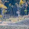 A pair of wolves across Lamar Valley in Yellowstone National Park, Wyoming, USA