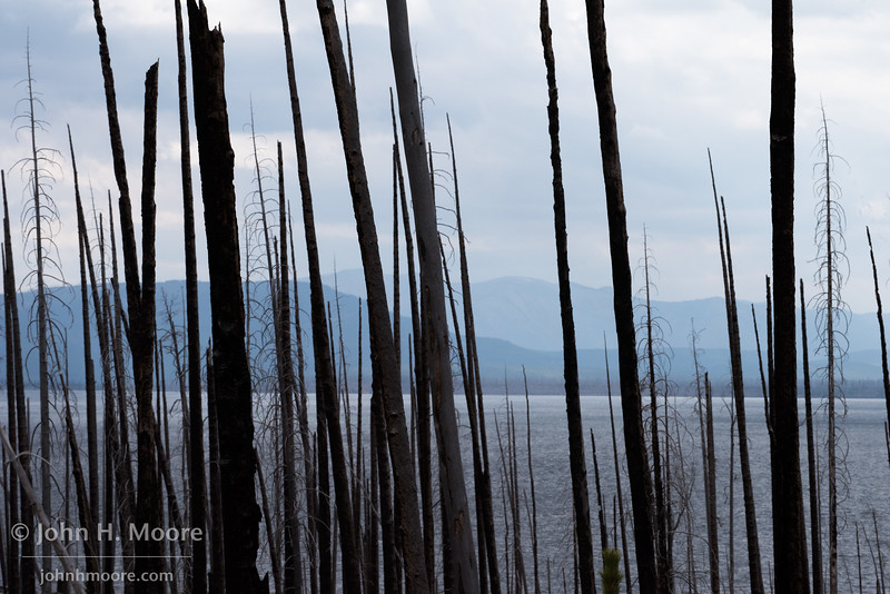 Lake Yellowstone seen through a burned forest.  Yellowstone National Park, Wyoming, USA