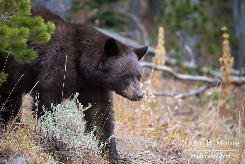 A black bear emerges from the woods near Dunraven Pass in Yellowstone National Park.