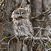 A great grey owl opens its beak.  Yellowstone National Park, Wyoming, USA