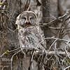 A great grey owl opens its beak.  Yellowstone National Park, Wyoming, USA