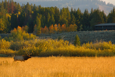 A golden morning in the Grand Tetons National Park.  Print size 5 x 7 $14.00 USD 8 x 10 $20.00 USD 8 x 12 $20.00 USD 11 x 14 $28.00 USD 12 x 18 $35.00 USD 16 x 20 $50.00 USD