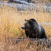 A grizzly sow steps up onto a fallen tree in Yellowstone National Park, Wyoming, USA