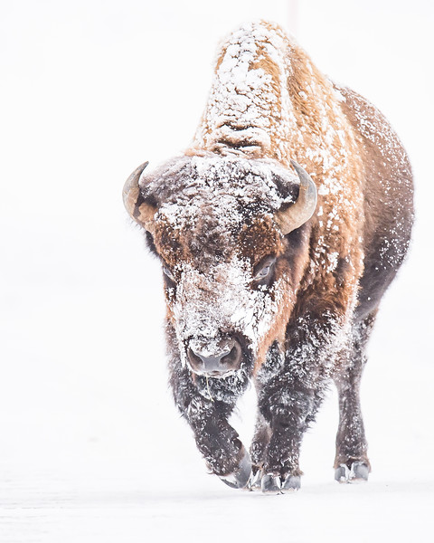 Bison Approach in Snow