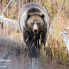 A grizzly sow walks a fallen log towards the photographer.  Yellowstone National Park, Wyoming, USA