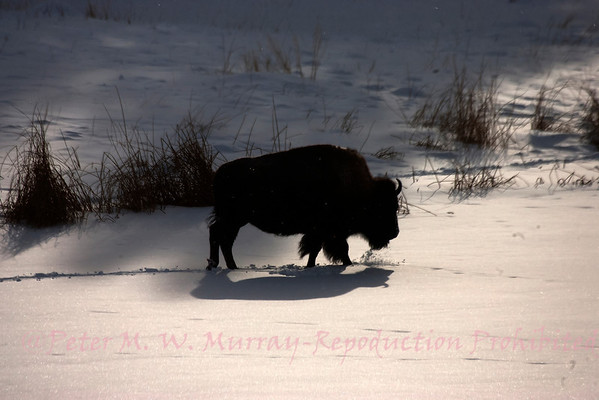 Lone Bison walks across Floating Island Pond. The temps had been below freezing for weeks so there is little chance of it falling through the ice.