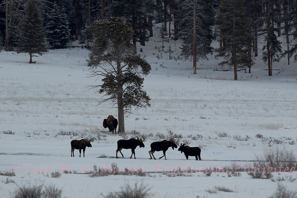 Four Bull Elk and a Bison