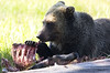 Grizzly with a Rack of Ribs