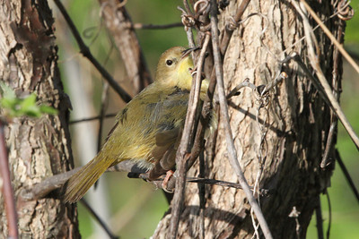 Common Yellowthroat female Trempealeau NWR May 22, 2014