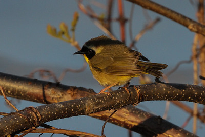 Common Yellowthroat male Trempealeau NWR early morning on May 17, 2014
