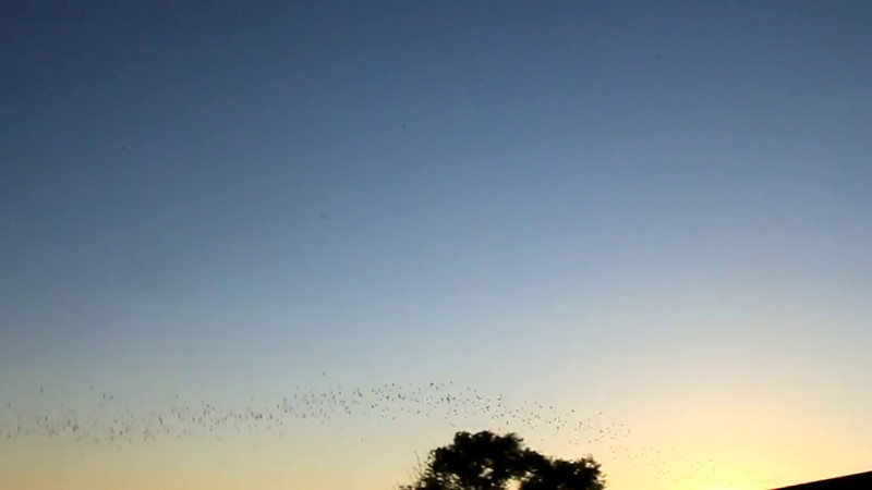 Evening flyout of Mexican Free-tail Bats at the Yolo Bypass Wildlife Area, Davis, CA. August, 2011