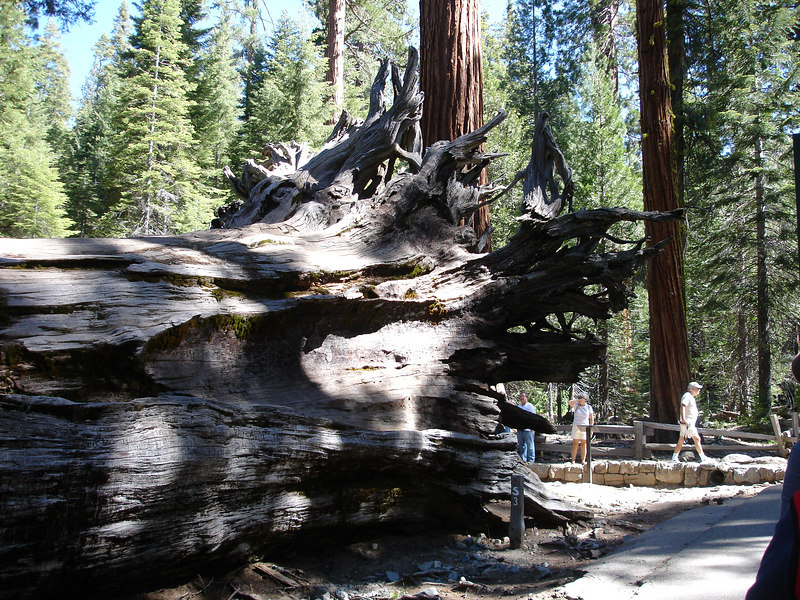 Biginning of my tram tour of the Mariposa Grove of giant sequoias a few miles from the South entrance of the Park on highway 41.