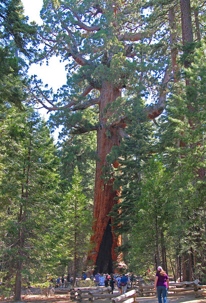 Grizzly Giant in Mariposa Grove.