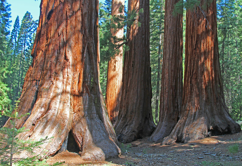 One of many groups of giants near top of Mariposa Grove.
