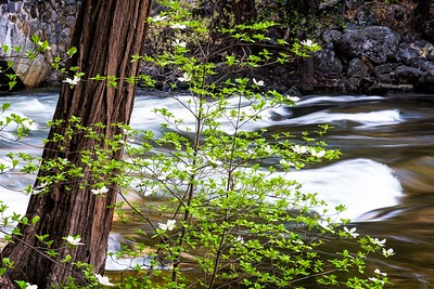 The Dogwoods bloom this time of year. In the background, the Merced River flowing at the Pohono Bridge.