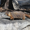 Yellow-bellied Marmot :