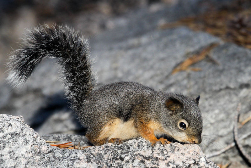 Douglas's Squirrel