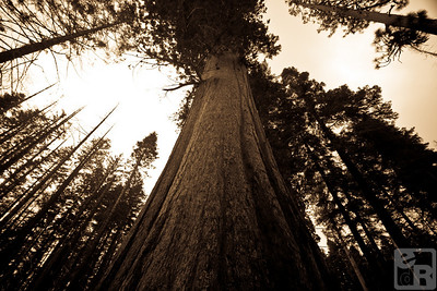 Giant Sequoias can live to be thousands of years old