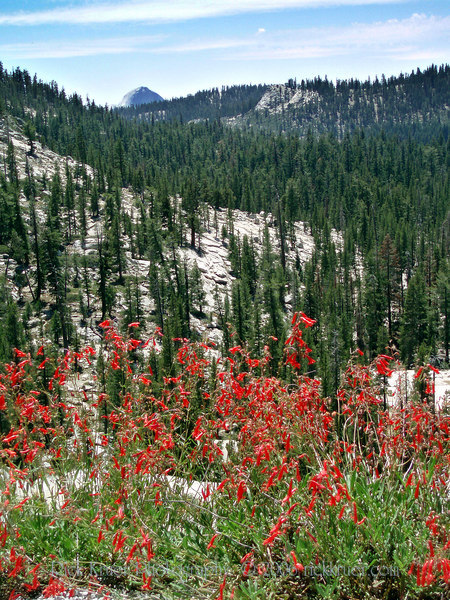 Eileen's beautiful photo of the red wildflowers that she loved seeing on the side of the road. Taken on Tioga Pass road as we make our way through Yosemite, the scenic route.<br /> <br /> P7280581-RedFLowers-2 copy.jpg