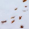 Oak leaves in the snow.