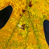 Oak leaf up close