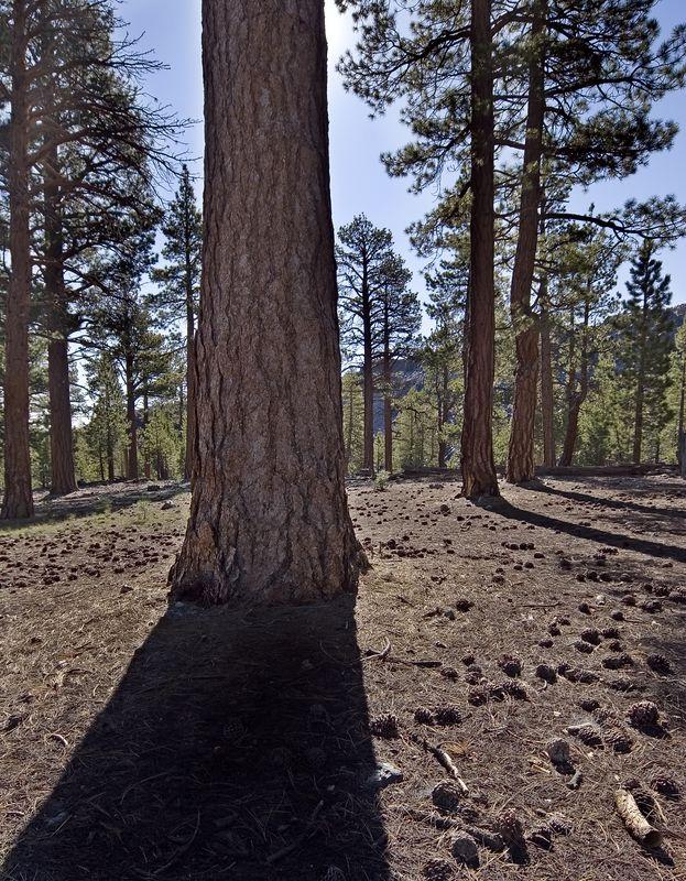 Ponderosa Pine near Obsidian Dome