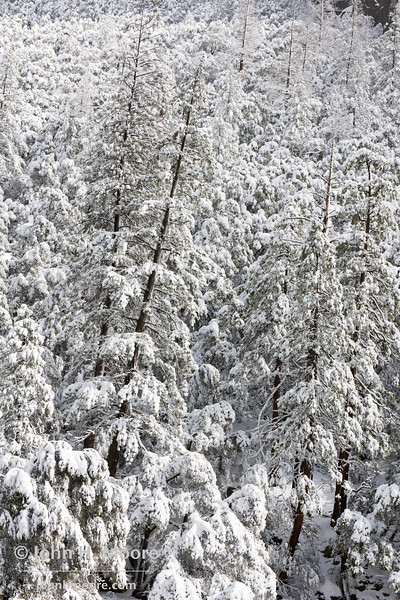 Snowy trees in Yosemite National Park