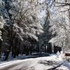 Snow falling off sunlight trees on the road to Yosemite Village.  Yosemite National Park.