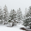 Snowy trees in Yosemite National Park.