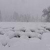 Snow lumps in the marsh of Cook's Meadow during a snowstorm.  Yosemite National Park, California, USA