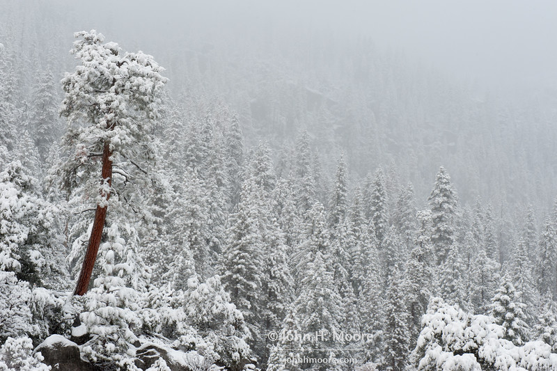 Lone tree against snowy forest.  Yosemite National Park.