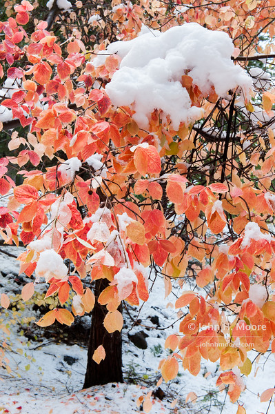 First winter storm of 2014-15 in Yosemite National Park; snow on a dogwood tree.