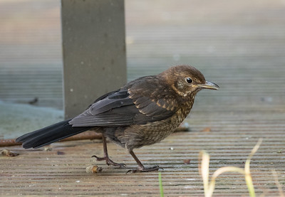Young Blackbird looking for Mum
