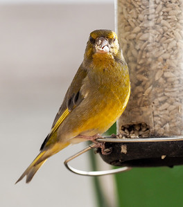 Siskin gathering food