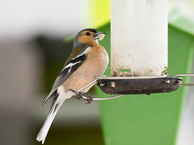 Chaffinch gathering food