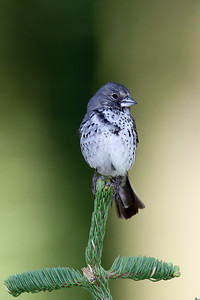 (Thick-billed) Fox Sparrow