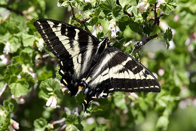 Swallow-tailed Butterfly