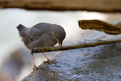 Young American Dipper plays with a stick