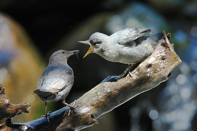 Adult & young American Dipper