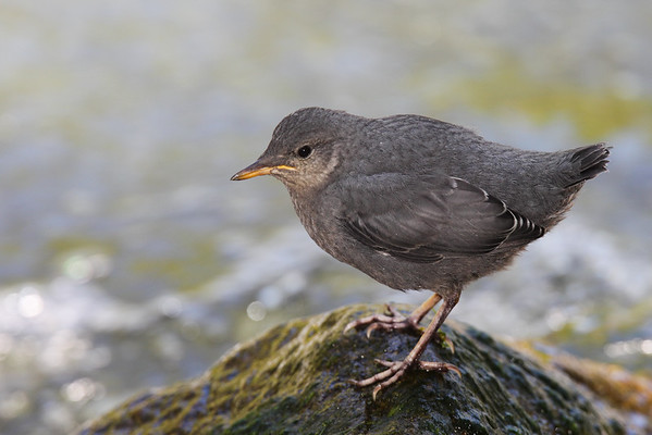 Young American Dipper
