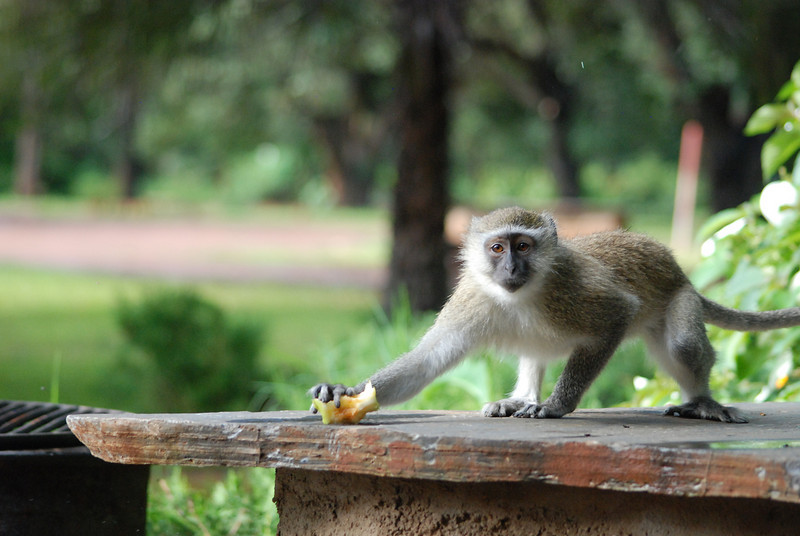 Caught Red Handed: At Eureka Camping Park, just south of Lusaka, the capital of Zambia, Africa, the local troup of Vervet monkeys makes regular visits through the campground in search of food.  This one snatched a leftover apple core with remarkable speed, but not before the camera caught the thief red-handed.