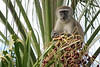 Favorite Feast: Vervet monkeys enjoy this palm with its plentiful fruit. V-shaped palm fronds draw the eye to the monkey's rich store of food. The feast satisfies his appetite, but that does not keep him from storing more in his bulging cheeks. Location - Eureka Camping Park, just south of Lusaka, the capital of Zambia, Africa