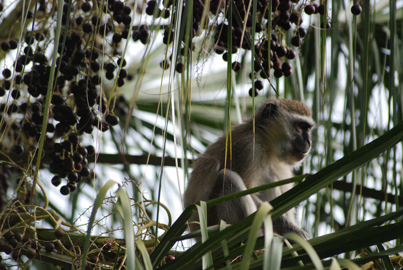 Vervet Veil: Vervet monkeys enjoy this palm with its plentiful fruit. Palm fronds cascade around the monkey to form a pleasant screen from the hot sun and from prying eyes. Location - Eureka Camping Park, just south of Lusaka, the capital of Zambia, Africa