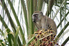 Palmtop Lookout : Vervet monkeys enjoy this palm with its plentiful fruit. V-shaped palm fronds draw the eye to the monkey and his rich store of food. In this pose, he seems to be on the lookout, watching for possible rivals for the food supply.  In the meantime, he eats all he can and stores more in his bulging cheeks. Location - Eureka Camping Park, just south of Lusaka, the capital of Zambia, Africa